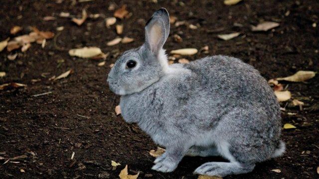 ウサギ ライアン